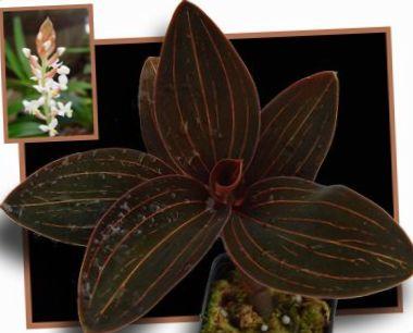 brun Juvel Orkidé foto (Örtväxter)